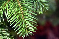 Free Fir-needles Stock Photography - 1798202