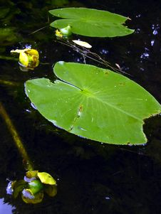 Free Floating Leaves In Spring / Summer Pond Royalty Free Stock Image - 1798766