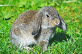 Free Rabbit Sitting On Grass Royalty Free Stock Photography - 17903527