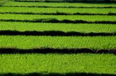 Free Rice Field Royalty Free Stock Photo - 17901595