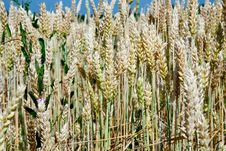 Wheat Ears Close Up In Field Stock Photos