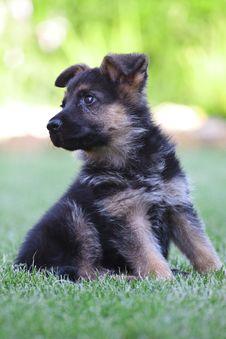 Free Young German Shepherd Stock Photography - 17902342