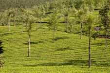 Free Tea Plantation Royalty Free Stock Photography - 17902357