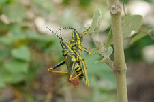 Free Painted Grasshopper Stock Photography - 17902382
