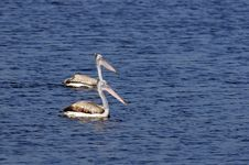 Free Spot Billed Pelican Stock Photography - 17902522