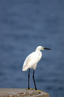 Free Egret Stock Photography - 17902752