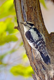 Free Downy Woodpecker Royalty Free Stock Photography - 17902827