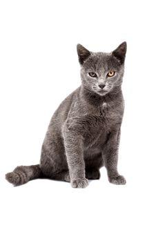 Free Cat Royalty Free Stock Photo - 17902895