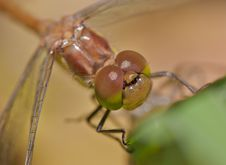 Free Dragonfly Royalty Free Stock Image - 17903996