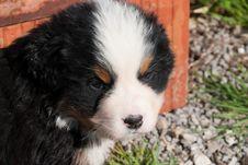 Free Bernese Mountain Dog Puppy Royalty Free Stock Photo - 17906315