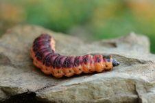 Free Caterpillar Stock Image - 17906981
