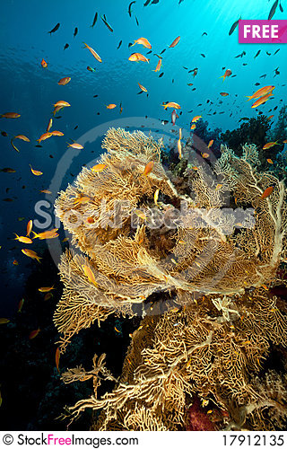 Free Sea Fan In The Red Sea. Royalty Free Stock Photo - 17912135