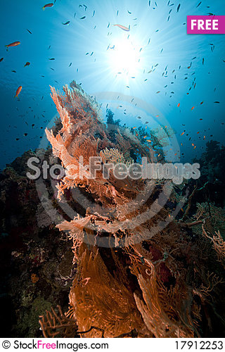 Free Sea Fan In The Red Sea. Stock Photos - 17912253
