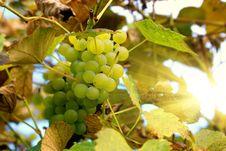 Free Green Grapes Royalty Free Stock Photos - 17910768