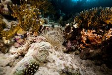 Free Leathery Anemone Life In The Red Sea. Stock Photography - 17910782