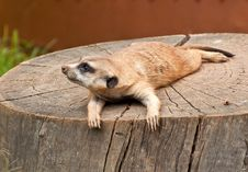 Free Marmot On A Tree-stump Royalty Free Stock Photos - 17911038