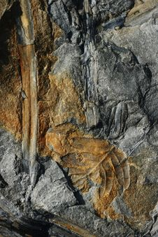 Coal Fossils Stock Images
