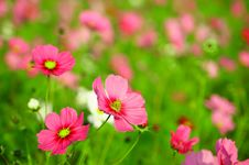 Free Cosmos Garden - Can Be Used As A Background Stock Photos - 17911713