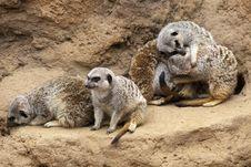 Free Meerkat Huddle Royalty Free Stock Photography - 17912087