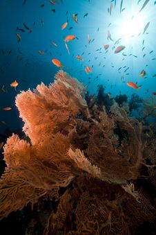 Sea Fan In The Red Sea. Royalty Free Stock Photo