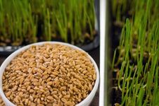 Free Homegrown Wheat Royalty Free Stock Photo - 17912585