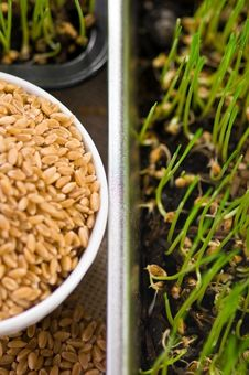 Free Homegrown Wheat Royalty Free Stock Photography - 17912597