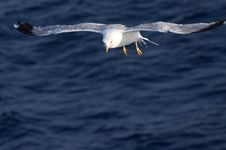 Free Beautiful White Seagull Royalty Free Stock Photo - 17913345
