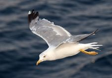 Free Beautiful White Seagull Stock Image - 17913351
