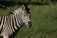 Free Zebra Royalty Free Stock Images - 17913619