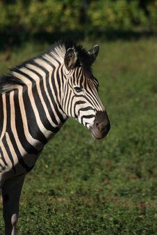 Free Zebra Royalty Free Stock Photos - 17913698