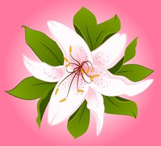 Free Beautiful Lily Design Element Royalty Free Stock Photos - 17915068