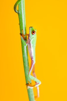 Free Green Frog Stock Images - 17917054