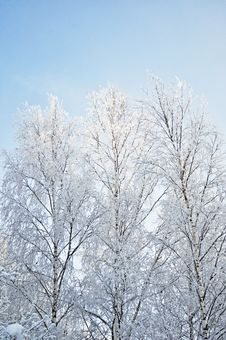 Free Bare Birch Trees With Hoarfrost Stock Photo - 17917210