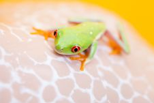 Free Green Frog Stock Photography - 17917322