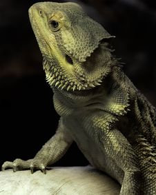 Free Royal Reptile Royalty Free Stock Image - 17918366