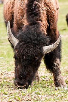 Free Bison Stock Photos - 17919163