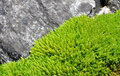 Free Light Green Moss Royalty Free Stock Images - 17923499