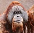 Free Old Orangutan 01 Stock Images - 17929374