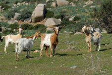 Free Goats Stock Images - 17921264