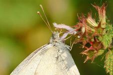 Free Butterfly Pieris Napi Royalty Free Stock Photo - 17921565