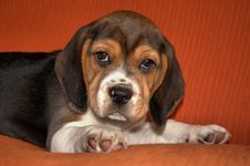 Free Puppy Beagle Stock Photos - 17921713