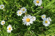 Free Daisy Flowers Taken From Above Royalty Free Stock Images - 17921859