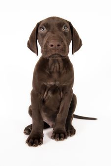 Free German Shorthaired Pointer Stock Image - 17925331