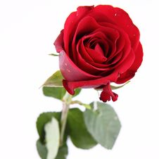 Free Red Rose Stock Photo - 17925570