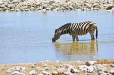 Free Zebra Stock Photos - 17926953