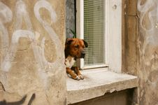 Dog In A Window Royalty Free Stock Image