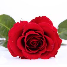 Free Red Rose Stock Photos - 17927993