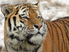 Free Siberian Tiger 04 Stock Image - 17929341