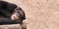 Free Chimpanzee 01 Stock Photography - 17929342