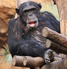 Old Chimpanzee 02 Stock Photography